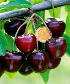 Cherry tree Bigarreau Burlat at the best price - Buy online, Cherry tree Bigarreau Burlat, any size available, unit offer or by quantity, fast delivery from our nurseries. Albizia Julibrissin, Bambou Fargesia Robusta, Dracaena Massangeana, Dracaena Marginata, Prunus, Cherry Tree, Vegetables, Products, Herbs