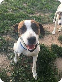 Labrador Retriever Puppy For Sale Dodger AKC CH