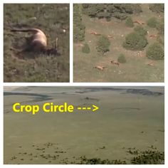 Crop Circle Seen Near 120 Dead Elk Suggesting Possible UFO Encounter, New Mexico ▶ More than 120 Elk were found dead 20 miles north of Las Vegas In New Mexico that were found on August 26 2013. Within a few hundred feet there was a crop circle that was visible from KRQE's News Helicopter. The Elk were found in close proximity to each other suggesting they were not killed by a virus. #aliens #ufo #et #cropcircle #ovni