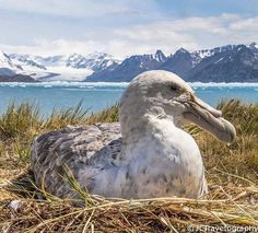 Southern Giant Petrel on a nest overloking the Neumayer Glacier on South Georgia. Pic @jctravelography Be wowed by the wildlife on South Georgia island as part of your Antarctic expedition http://ift.tt/29CwiQB OR click on the link in bio