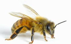 Gorgeous example of an Italian honeybee. They aren't kept as much anymore because they aren't necessarily 'hygeinic' (i.e, they are more susceptible to mites) but they are the honeybees that conquered the world.