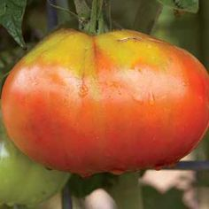 How to Grow Huge Tomatoes: Guiness World Record holder Gordon Graham shares his tips for growing blue ribbon-winning whoppers. | From Organic Gardening