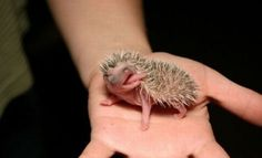 Newborn little hedgehog