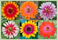 Zinnia Seeds - Swirls Mixed Bright mixes of magical colour. Can handle the summer heat and being picked by kids.