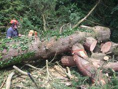 Tree Surgeons, Plymouth, Surgery, Survival