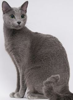 Are british blue cats hypoallergenic