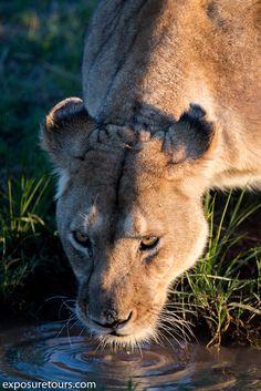 lioness-drinking