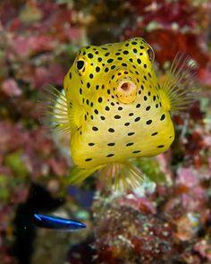 Under the Sea (10 Fabulous Snapshots) !!!! - Part 1, Juvenile yellow boxfish.