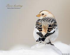 Snow bunting - Bruant via Flickr