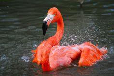 Amazing wildlife -  Pink Flamingo photo #flamingos