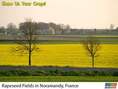 Rapeseed fields in Normandy, France. Rapeseed is mainly grown for its oil, though there are other uses for it as well.  #tpsl #ag  #lab #agriculture #AgBlog #AgTech #Agronomics #BioTech  #Farm #Farming #Farmers