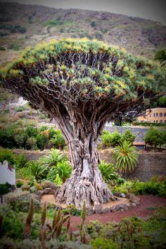 Dragon Tree Icod de los Vinos, via Flickr.