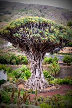 Dragon Tree Icod de los Vinos, via Flickr.