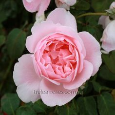 Kathryn Morley :- A most appealing rose with a delicious fragrance.