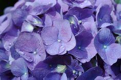Blue hydrangea (M1)
