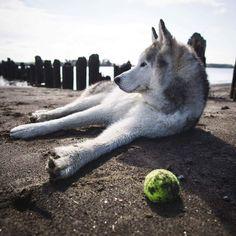 Loki: Stop trying to make fetch happen. It's not going to happen. Wolf Husky, Husky Husky, Wolf Pup, Loki, Types Of Dogs, Alaskan Malamute, Australian Shepherd, Rottweiler, Dog Training