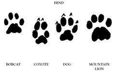 Image detail for -http://pictures-of-c...lion-tracks.png