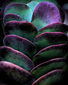 The Kalanchoe plant (genus Kalanchoe), a tropical succulent plant with thick…