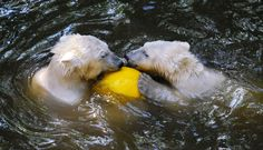 In the Czech Republic, polar bear twin cubs Nanuk and Kometa are struggling to keep their cool in the European summer heat wave, with their mother Cora at the Brno Zoo.
