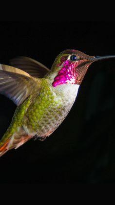 1080x1920 iPhone Hintergrundbild Kolibri fliegen auf einem schwarzen Hintergrund ...