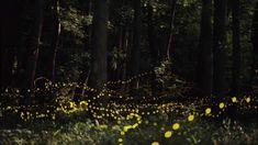 Amazing images of 蛍 (fireflies) in Okayama, Japan