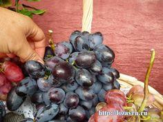 Натуся (Подарок Запорожью х Надежда АЗОС) - сорта винограда на Н - ВИНОГРАДНАЯ ЛОЗА