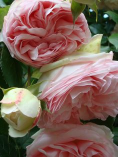 "Roses "" Pierre de Ronsard"" I have this rose in my garden.  Wonderful scented and long bloomer once going."