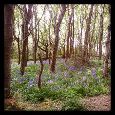 Happy Valley bluebell woods, Orkney