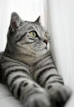 Gray kitty   ...........click here to find out more     http://googydog.com