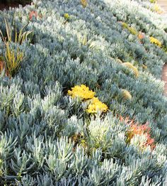 MilkWeed: Succulent Tapestry Lawn in interior design Category Succulent Landscaping, Landscaping Tips, Outdoor Landscaping, Types Of Succulents, Cacti And Succulents, Water Plants, Cool Plants, Sloped Garden, Low Maintenance Garden