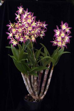 dendrobium gillieston | Dendrobium Gillieston Stardust 'Kimmie' HCC/OSCOV Dendrobium ...
