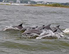 Dolphins playing at the Inlet. Ocean City MD.
