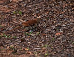 Brown Thrasher Eating A Cricket