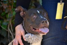 Staten Island PRINCESS – A1071823 FEMALE, BLACK / WHITE, PIT BULL MIX, 2 yrs STRAY – STRAY WAIT, NO HOLD Reason OWN ARREST Intake condition UNSPECIFIE Intake Date 04/28/2016, From NY 10308, DueOut Date05/01/2016