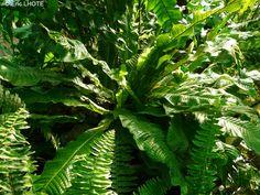 Polypodiaceae - Microsorum musifolium Crocodylus - Fougère crocodile