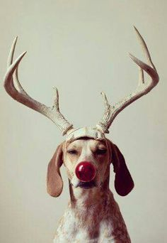 Christmas is the season for believing anything is possible. Maddie the coonhound as Rudolph the red nosed reindeer Christmas Animals, Christmas Dog, Merry Christmas, Christmas Qoutes, Christmas Holidays, Christmas Program, Family Holiday, Christmas Humor, Christmas Cards