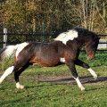 JL Spar-King Quincy, bay Tobiano stallion - Riverside Curly Horse Ranch - Europa's größte Curly Zucht