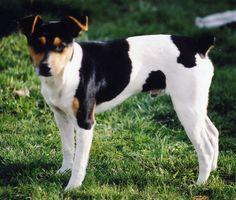 American Rat Terrier phot | Rat Terrier breeder