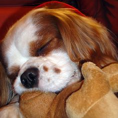 Lucky my Cavalier King Charles  Photo from Bruno Fontana