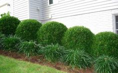 55 ideas for landscaping shrubs front yard privacy hedge