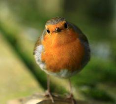 The cool robin stare...