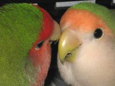 Look Deeply Into My Eyes - 2 Peachface Lovebirds