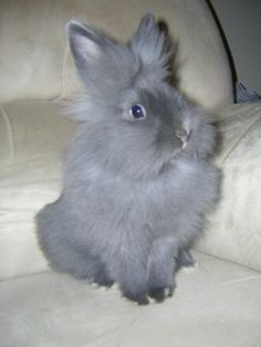 Lion-head Rabbit. So fluffy!