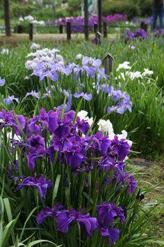 Iris Garden In Sawara, Chiba, Japan 佐原あやめ祭り