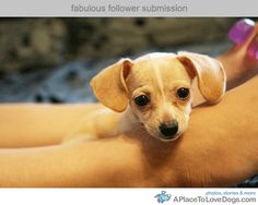 chiweenie!!  how adorable!!  I would really love one of these someday...