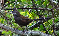Bird Identification of Australian Birds - Sydney and Blue Mountains Bird Species - Eastern Whipbird - Psophodes olivaceus