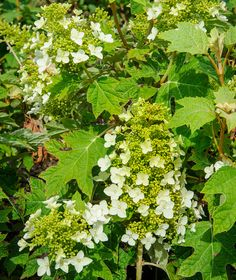 15 Impossible-To-Kill Outdoor Plants Oakleaf Hydrangea: Even When Hidden Beneath A Conifer Or Tucked Into The Darkest Corner Of Your Yard, These Plants Are Likely To Thrive. Oakleaf Hydrangea, Pretty Plants, Plants, Hardy Plants, Garden Shrubs, Perennials, Shrubs, Outdoor Plants, Shade Garden Plants