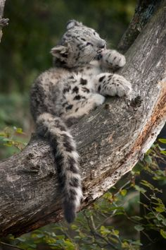 *Snow Leopard Cub... THIS IS THE MOST CUTEST THING IN THE WORLD!!!<3