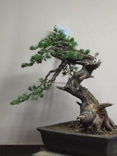 実生59年生、今日初めて盆栽になりました。 ところでこの落ち枝は、吾妻山でよく見...