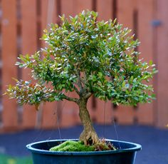 Boxwood bonsai  Quite cute